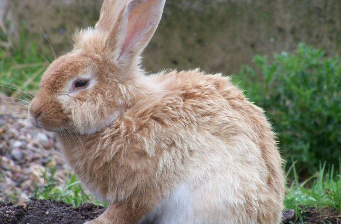 freilaufende Kaninchen